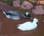 Ducks at Rainbow Valley Animal Sanctuary